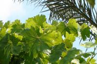 groen druivenblad