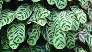 Maranta tiengebodenplantje