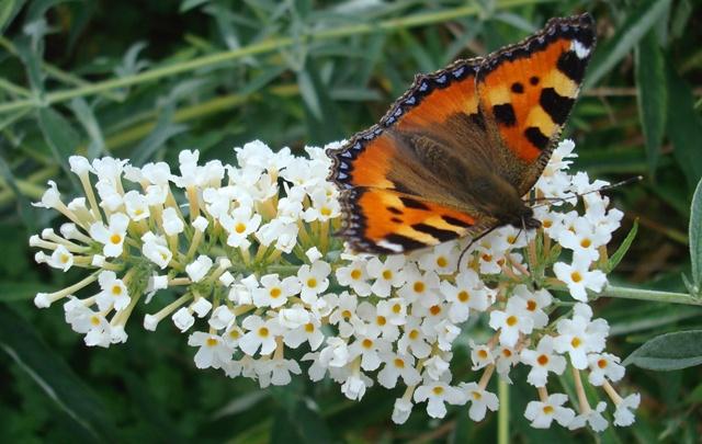 Buddleja met vlinder