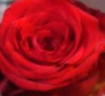 Rode roos 150x137 DSC02787kopie